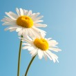 Daisies over blue sky — Stock Photo