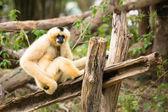 Vrouwelijke witte cheeked gibbon — Stockfoto