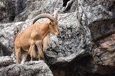 Barbary sheep ( Ammotragus lervia ) native to rocky mountains i — Photo