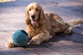 Golden Cocker Spaniel with long ears and protruding tongue with — Stock Photo
