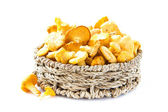 Fresh, raw chanterelles mushrooms in basket, great harvest — Stock Photo