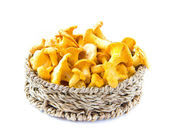 Fresh, raw chanterelles in basket, great harvest — Stock Photo