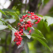 Red berries on the tree — Stock Photo