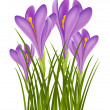 Realistic purple crocus - Stock Vector