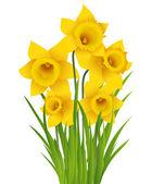 Daffodil — Stockvektor