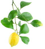 Lemon on a branch with leaves — Photo