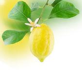 Lemon and flower growing.Border design — Stock Photo