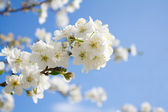 Bunches of plum blossom — Stock Photo