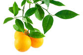 Oranges on a branch with leaves — Stock Photo