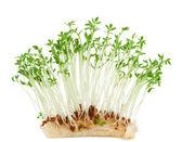 Garden crees ( Lepidium sativum). — Stock Photo