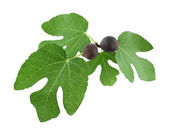 Ripe figs on tree branch — Stock Photo