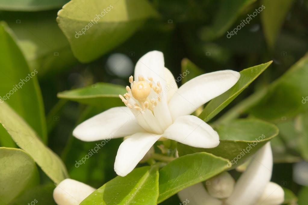 Orange Tree Flower Flower of an Orange Tree Among