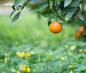 Orange on a branch — Stock Photo