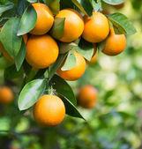 Oranges hanging — Stock Photo