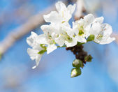 Plum blossom  — Stock Photo