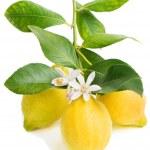 Lemon and blossom — Stock Photo #41455003