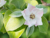 Quince blossom — Stock Photo