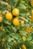 Branches of ripe lemons with buds. — Stock Photo