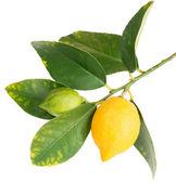 Lemons on a branch — Stock Photo