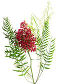 Pink peppercorn.  Peruvian Pepper Tree ( Schinus molle L.) — Stock Photo
