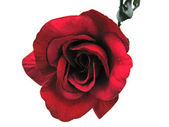 Uma rosa vermelha — Foto Stock