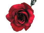 一朵红玫瑰 — 图库照片