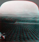 Navel Orange Grove 3D anaglyph — Stock Photo