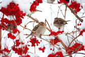 Sparrows — Stock Photo