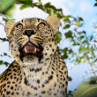 Leopard, predator, animal, Teeth, opened mouth, spotted coat — Stock Photo #18339473
