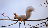 Squirrel in the snow — Stock Photo