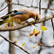 Eurasian jay bird sits on a branch of a tree and a worm in its beak — Stock Photo