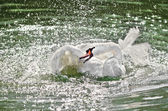 Swan flaps its wings in the water. — Stock Photo