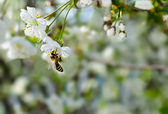 Bee sitting on a branch of cherry. Spring blossoms tree. — 图库照片