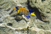 Colorful fish of the Red Sea — Stockfoto