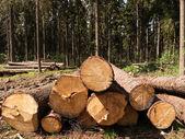 Kácení stromu — Stock fotografie