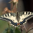 Stock Photo: Close up of Papillion Machaon butterfly.