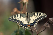 Close up of Papillion Machaon butterfly. — Stock Photo
