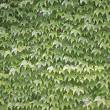 Green ivy leaf background. — Stock Photo #34467111