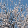 Blossoming apricot tree as background. — Stock Photo #40801591