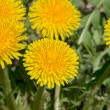 Few bright yellow dandelions closeup. — Stock Photo #41061623