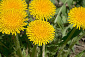 Few bright yellow dandelions closeup. — Stock Photo