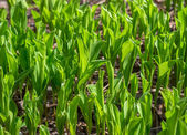 Green leaves of May lily as natural background. — Stock Photo
