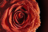 Red rose with water droplets — Foto de Stock