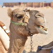 Camel in bedouin village — Stockfoto #15420383