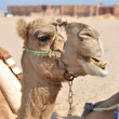Camel in bedouin village — Stock Photo #15420383