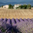 Stock Photo: Blooming rows of lavender, Plateau of Valensole, Provence, France