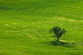 Árbol solitario en maíz campo, Toscana, Italia — Foto de Stock