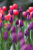 Colorful tulips on blurred background — Stockfoto