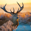 Royalty-Free Stock Photo: Deer.