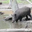 Stock Photo: Feral pig in water
